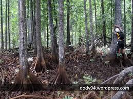 kayu bakau